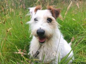 Buster - Male Parson Russell Terrier Photo