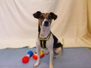 Harper - Female Jack Russell Terrier (JRT) Photo