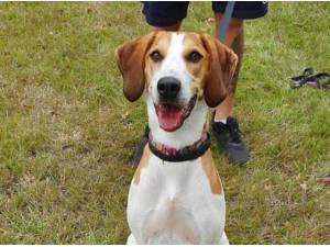 BELLA - Beagle  crossbreed Photo