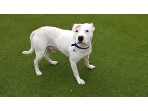RUEBAN - Male Terrier: Staff Bull Photo