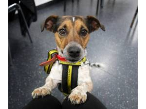 Soda - Male Jack Russell Terrier (JRT) Photo