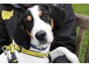Buddy - Male Beagle Photo