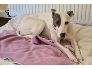 Dana - Female Lurcher Photo