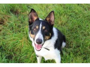 Tommy - Male Collie Cross (Border) Photo