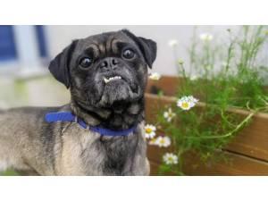 PUGSY - Male Pug Photo