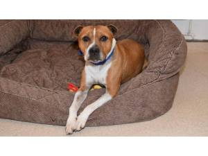 BAILEY - Male Terrier: Staff Bull Photo