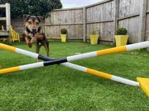 Scooby - Male Terrier Cross Photo
