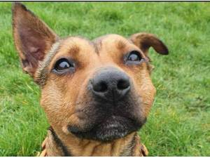 LITTLE LADY - Staffordshire Bull Terrier  crossbreed Photo