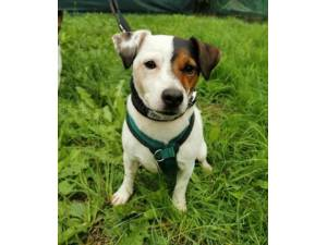 Patch - Male Jack Russell Terrier Photo