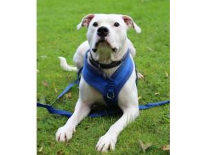 Nigel - Male American Bulldog Cross Photo