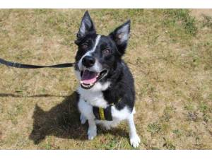 Rafa - Male Border Collie Photo