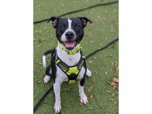 Prince *reserved* - Male Staffordshire Bull Terrier Photo