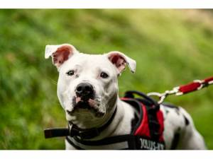 Gizmo *reserved* - Male Staffordshire Bull Terrier Photo