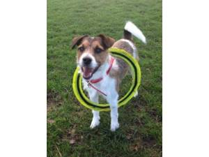 Milo - Male Jack Russell Terrier Photo