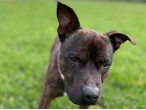 ROCKY - Staffordshire Bull Terrier Photo
