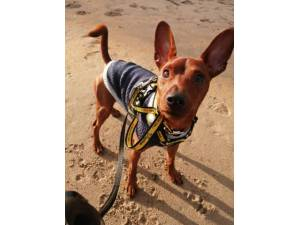 Jack - Male Miniature Pinscher Photo