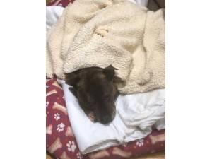Bryson - Male Terrier (Staffordshire Bull) Photo