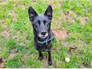 SASHA - German Shepherd  crossbreed Photo