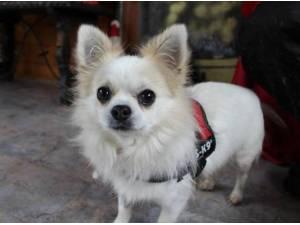GARY - Chihuahua (Long coat) Photo