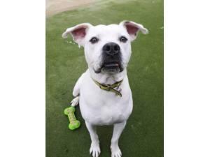 Tyler - Male American Bulldog Photo
