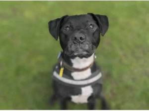 MACEY - Staffordshire Bull Terrier
