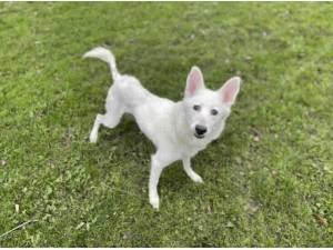 SASHA - Husky (Siberian)  crossbreed Photo