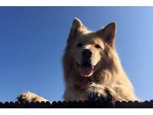 Teddy - Male German Shepherd Dog (GSD / Alsatian) Photo