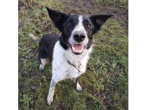 Jack - Male Collie Cross (Border) Photo