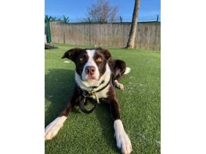 Macey - Female Collie Cross (Border) Photo