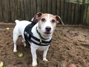 Nanook - Male Jack Russell Terrier (JRT) Photo
