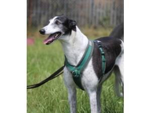 Rafiki - Male Greyhound Photo