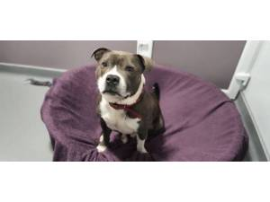 Pudding - male Staffordshire Bull Terrier Photo
