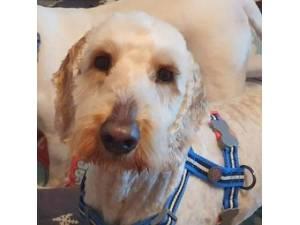 Charlie was Chaz - Male Australian Labradoodle (Labrador cross Poodle) Photo