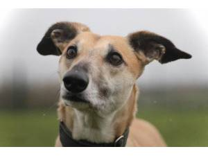 Lacey - Female Lurcher Photo