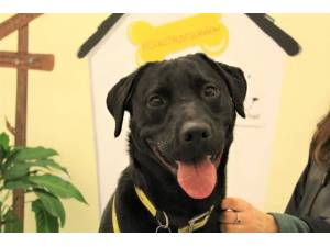 Ozzy - Male Lab Cross Photo