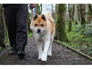 Bear - Male Akita Photo