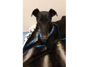 Barry - Male Greyhound Photo