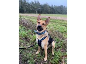 Buddy - Male German Shepherd Dog Photo