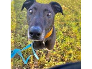 Jake - Male Lurcher Photo