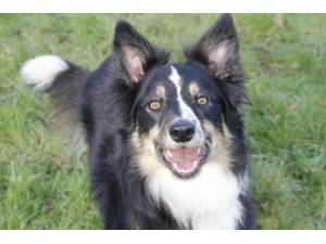 Maddie - Female Border Collie Photo