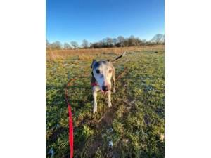 Olivia - Female Lurcher Photo