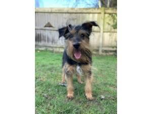 Oscar Wilde - Male Terrier: Yorkshire Photo
