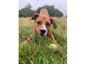Percy - Male Boxer Photo