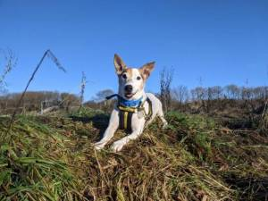 Teddy - Male Jack Russell Terrier (JRT) Photo