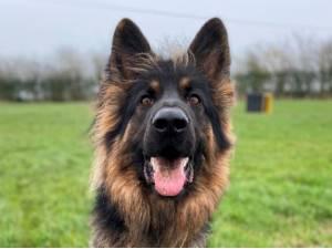 Sunny - Male German Shepherd Dog (GSD / Alsatian) Photo