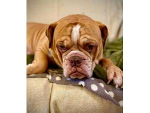 Bruno - Male Bulldog Photo
