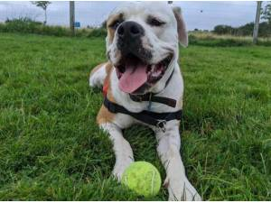 HECTOR - American Bulldog