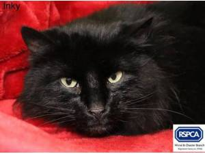 INKY - Domestic Longhair