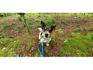 Fergus - Male Jack Russell Terrier (JRT) Photo