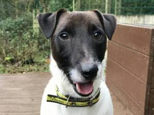 Jack - Male Terrier Cross Photo